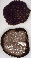 Cross section of a Black Perigord truffle