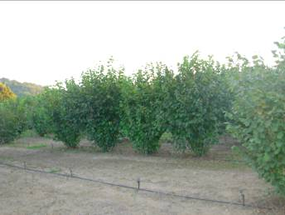 Well cultivated and irrigated mature orchard
